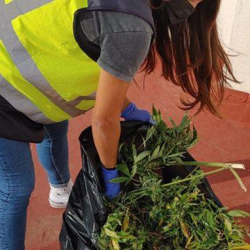 Intervienen varias decenas de plantas de marihuana en una finca de Can Pastilla