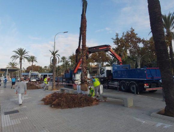 La Autoridad Portuaria repone las palmeras con riesgo estructural en el puerto de Palma